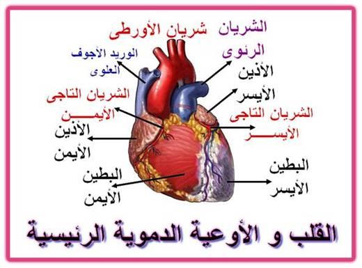 صورة توضيحية لشكل القلب